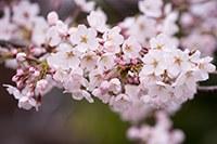 cherry-blossom1-200.jpg